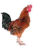 Brown rooster Royalty Free Stock Photography