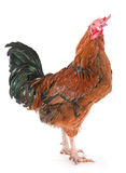 Brown rooster Stock Images