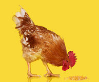 Brown Rooster Eat Cereal Grain On Yellow Background Live Chicken One Closeup Farm Animal