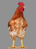 Brown rooster on gray background, live chicken, one closeup farm animal Stock Photography