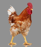 Brown rooster on gray background, live chicken, one closeup farm animal Royalty Free Stock Photo