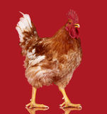Brown rooster on red background, live chicken, one closeup farm animal Royalty Free Stock Image