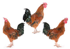 Brown rooster set Royalty Free Stock Photos