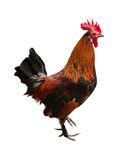Brown rooster standing on one leg Stock Photo