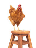 Brown rooster standing on wood desk and looking eyes contact iso Stock Images