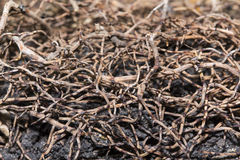 Brown rootlet. Of plant and black soil for based and ground meaning and teamwork and root of organization Royalty Free Stock Photo