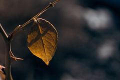 Brown rose leaf in winter Stock Image