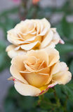 Brown roses in the garden Stock Photography