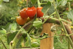 Brown rot on Tomatoes. Brown rot caused by the fungus Phytophthora infestans on tomato in the field Stock Image