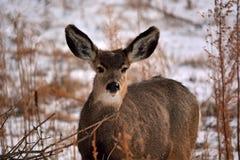 Brown-Rotwild mit den großen Ohren im Winter mit Schnee Stockfotos