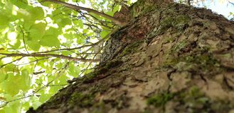 Bark, tree trunk. Photo of an old tree in a green forest stock photography