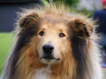 Brown rough collie portrait. Tricolour beautiful rough collie portrait (lassie dog Royalty Free Stock Photos