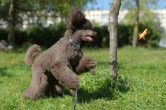 Brown royal poodle jumps Stock Photography