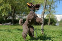 Brown royal poodle jumps Royalty Free Stock Photos