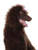 Brown royal poodle Stock Photo