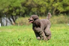 Brown royal poodle runs. Along the grass royalty free stock image