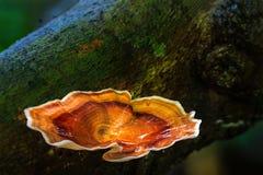 Brown rozrasta się dorośnięcie w tropikalnym lesie deszczowym Obrazy Stock
