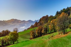 Brown rufous carroty cows on green grass pasturage, sunny autumn. Day, Switzerland Royalty Free Stock Photography