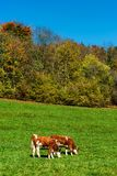 Brown rufous carroty cows on green grass pasturage, sunny autumn. Day, Switzerland Royalty Free Stock Photo
