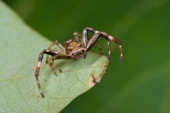 A brown running crab spider Royalty Free Stock Photography