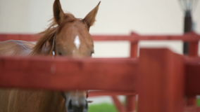 Brown running horse stock footage
