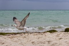 Brown running seagull on its start flight against storm on sea. Wild birds concept. Seagull on sand beach in hurricane day. Royalty Free Stock Image