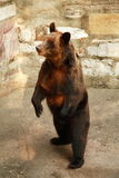 Brown Russian bear Stock Images