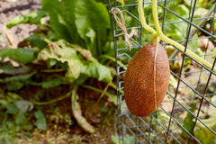 Brown Russian cucumber growing on the vine Stock Image
