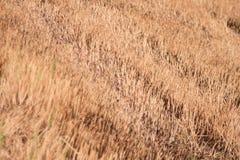 Brown ryż tło w Thailand. Zdjęcie Stock