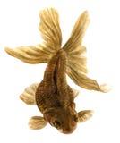 Brown ryba (akwarela rysunek) Zdjęcia Stock