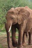 Brown słoń obraz royalty free