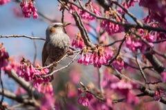 Brown Słyszący Bulbul w menchiach Kwitnie w Tokio Obrazy Stock