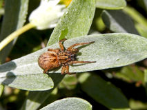 Brown sac spider Royalty Free Stock Images