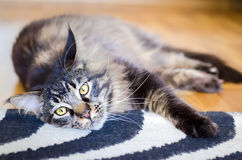 Brown Sad Cat Tabby Maine Coon. On the Carpet, Selective Focus, Cat Portrait at Home Royalty Free Stock Photography