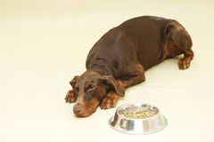 Brown sad doberman pinscher with food Royalty Free Stock Photography