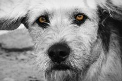 Brown Sad Dog. (BW). Brown sad stray dog. BW Version Royalty Free Stock Photo