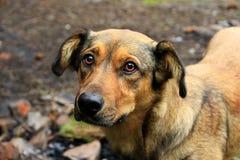 Mongrel dog nice and light. Sad pet. Piteous look. Brown sad mongrel standing on ground. Curious dog looking sadly. Homeless mongrel dog waiting for new owner Stock Photos