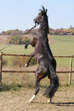 Brown saddle horse. Picture of brown saddle horse Royalty Free Stock Images