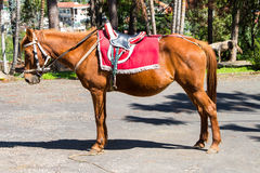 Brown saddle horse in vietnam Royalty Free Stock Image