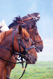 Brown saddled horses profiles. A close-up portrait of brown saddled horses profiles in nature Royalty Free Stock Images