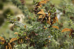 Brown Sage plant Salvia Africana lutea Royalty Free Stock Photo