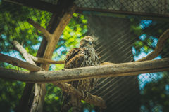 Brown saker falcon sitting on a branch Royalty Free Stock Photo