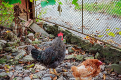 Brown salpicou a galinha que corre em torno do dia brilhante dos cercos espaçosos fotografia de stock royalty free