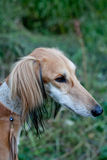 Brown saluki portrait Royalty Free Stock Photography