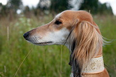 Brown saluki portrait Stock Photo