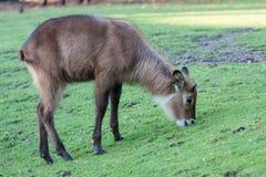 Brown samiec Zdjęcie Royalty Free