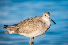 A brown Sandpipers in Anna Maria Island, Florida. A wading bird, curlew enjoying the epic scenery of sunset in the beach of Anna Maria Key royalty free stock photo
