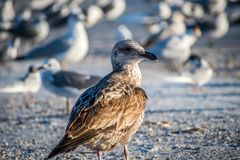 A brown Sandpipers in Anna Maria Island, Florida. A wading bird, curlew enjoying the epic scenery of sunset in the beach of Anna Maria Key royalty free stock images
