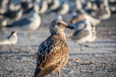 A brown Sandpipers in Anna Maria Island, Florida. A wading bird, curlew enjoying the epic scenery of sunset in the beach of Anna Maria Key royalty free stock photography