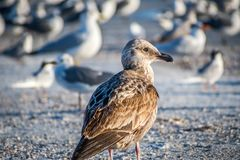 A brown Sandpipers in Anna Maria Island, Florida. A wading bird, curlew enjoying the epic scenery of sunset in the beach of Anna Maria Key stock images